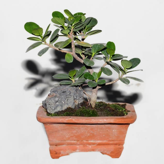 Smart Car Kits >> Ficus or Chinese Banyan Tree