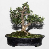Boxwood Bonsai Bangladesh-18