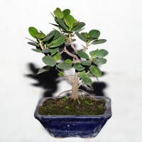 Ficus or Chinese Banyan Tree/ Bot