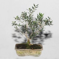 Boxwood Bonsai Bangladesh 11