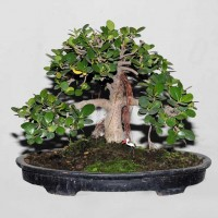 Ficus or Chinese Banyan Tree/Bot