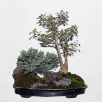 Landscape Bonsai (Juniper and Thai Bougainvillea)