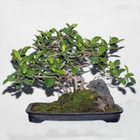 Ficus or Chinese Banyan Bonsai Tree on the rock